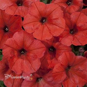 'Orange' Petunia Good and Plenty™