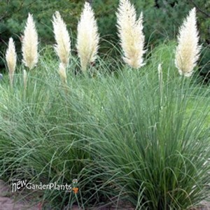 Dwarf pampas grass hardy cortaderia 39 pumila 39 grass for Hardy tall ornamental grasses