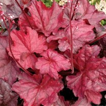 'Fire Chief' Coral Bells