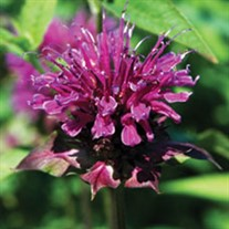 Blue Stocking Bee Balm