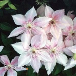 39 pink fantasy 39 clematis vine clematis 39 pink fantasy. Black Bedroom Furniture Sets. Home Design Ideas