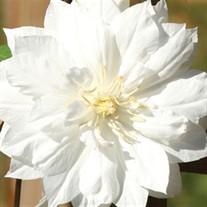'Duchess of Edinburgh'  Clematis Vine