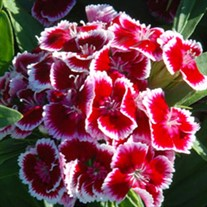 'Red Picotte'  Hardy Sweet William