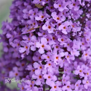 Buzz™ Buddleia Sky Blue''