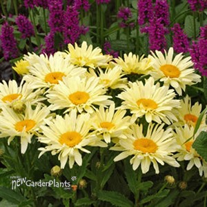 'Banana Cream'  Yellow Daisy's