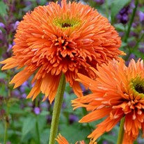 'Colorburst Orange' Coneflower