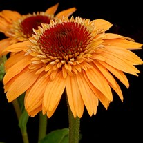 'Supreme Cantaloupe'  Double Coneflower