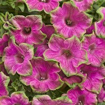 Supertunia® Picasso in Pink™