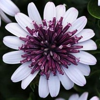 4D™ Berry White Sunscape Daisy