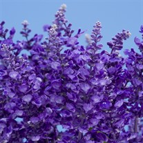 Salvia Cathedral ™ Deep Blue