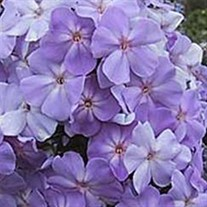 Tall Phlox 'Blue Boy'