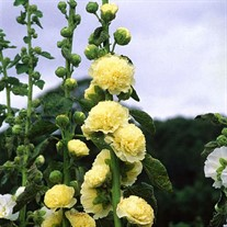 'Double Yellow'  Hollyhock