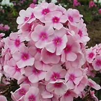 'Bright Eyes' Tall Phlox