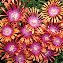 'Fire Spinner'  Ice Plant
