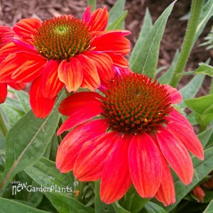 Sombrero™ 'Hot Coral' Coneflower