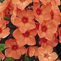 'Orange Perfection' Garden Phlox