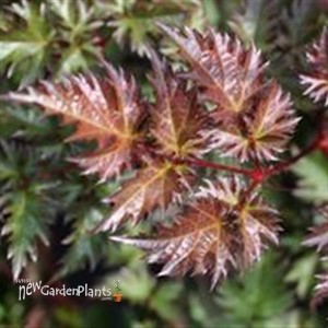 Astilbe 'Deft Lace' False Spirea