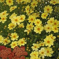 'Full Moon' Coreopsis Tickseed
