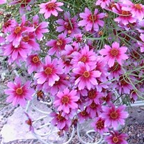 'Heaven's Gate' Coreopsis Tickseed