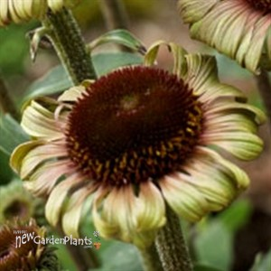 'Caribbean Green' Coneflower
