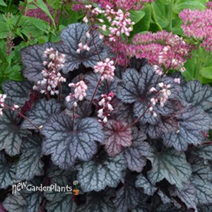 'Frost' Little Cutie™ Series Coral Bells
