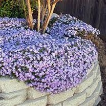 Creeping Phlox 'Blue Emerald'