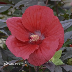 'Midnight Marvel' ppaf Rose Mallow