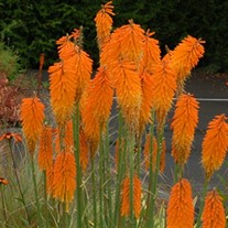 'Mango Popsicle™' HOT POKER