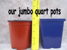 Our Jumbo Quart Plants